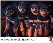rottweiler puppy posted by ChristinaWField