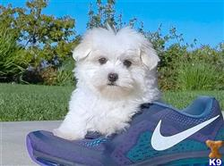 maltese puppy posted by Classicpup13