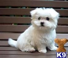 maltese puppy posted by Clintonb