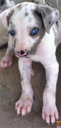 catahoula puppy posted by Cml2014