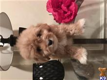 maltipoo puppy posted by Cnere512