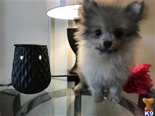 pomeranian puppy posted by Cnere512