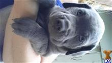 cane corso puppy posted by Cochran98
