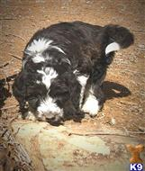 aussiedoodle puppy posted by ColoradoDoodleRanch