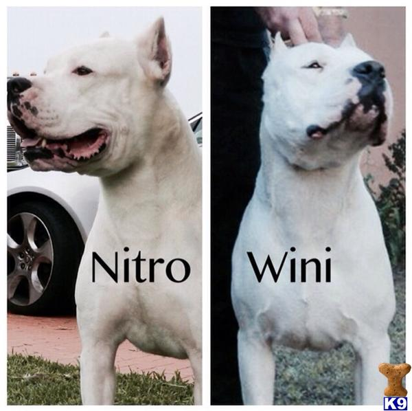 Dogo Argentino Puppy for Sale: Dogo Argentino puppies 4 ...