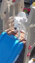 dogo argentino puppy posted by Cordoba Dogos