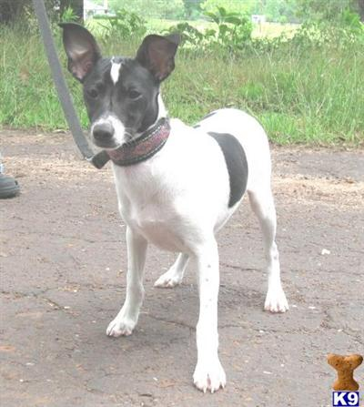 rat terrier price rat terrier puppy for sale tyler real sweet pup 10 years old 9935
