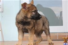 german shepherd puppy posted by DDRCSZGERMANS