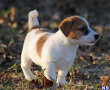 jack russell terrier puppy posted by DKJackson