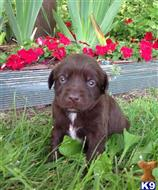 labrador retriever puppy posted by DMS silver labs