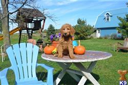 goldendoodles puppy posted by DabofDoodles