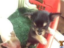 chihuahua puppy posted by Daisy Dog