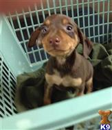 miniature pinscher puppy posted by Daisy Dog
