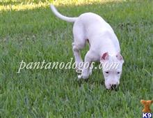 dogo argentino puppy posted by DanBolline
