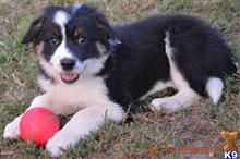 border collie puppy posted by Danchezar