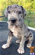 great dane puppy posted by DaneArc