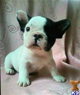 french bulldog puppy posted by Dc1234