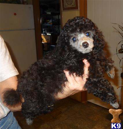 poodle puppy posted by Debo-13
