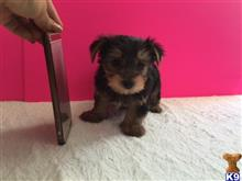 yorkshire terrier puppy posted by Delightful Puppy