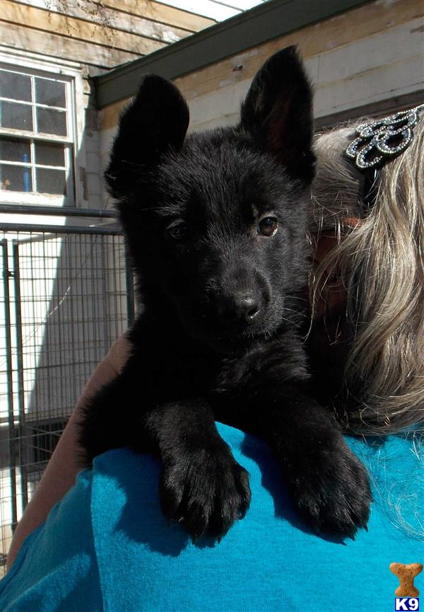 German Shepherd Puppy For Sale Akc German Shepherd Puppies Solid