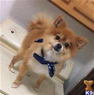 Pomeranian Stud Dogs In Texas