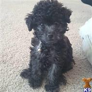 poodle puppy posted by Dherrian6388