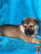 german shepherd puppy posted by Diane Schiavo