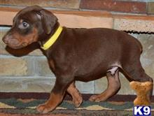 doberman pinscher puppy posted by Doberland