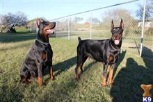doberman pinscher puppy posted by Dobietx88
