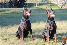 Doberman Pinscher Puppies For Sale In Texas