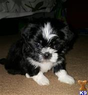 shih tzu puppy posted by Donna21811