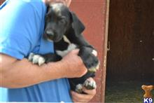 great dane puppy posted by Dreamcatcher Great Danes