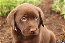 labrador retriever puppy posted by Dreamie11