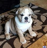 bulldog puppy posted by Dsmith0612