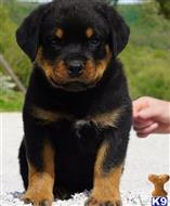 rottweiler puppy posted by Durff7458
