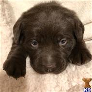 labrador retriever puppy posted by Dustyroads