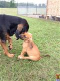 bloodhound puppy posted by ECMBloodhounds