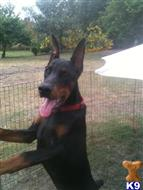 doberman pinscher puppy posted by EUROGUARDIANK9