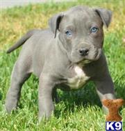 american pit bull puppy posted by Eksaf