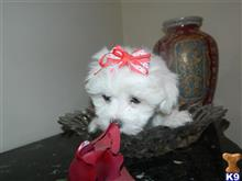 maltese puppy posted by Elegant Babies