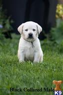 labrador retriever puppy posted by EliteLabs