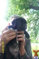 great dane puppy posted by Ellensdanes