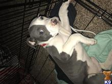 American Pit Bull Puppies for sale in Alabama
