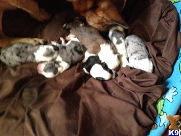 Texas heeler puppies1 2 australian cattle dogs 1 2 australian shepherd