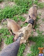 belgian malinois puppy posted by EuroK9 Imports
