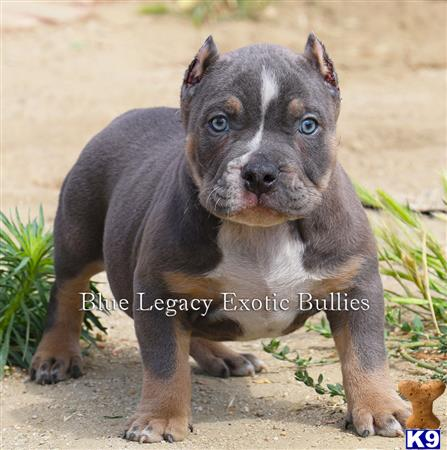 American Pit Bull Puppy For Sale Megastar Female Blue