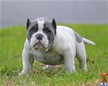 american pit bull puppy posted by Exotic Bully