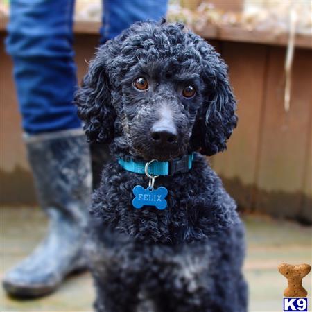 Poodle Stud Dog Felix 6 Years Old