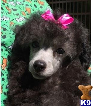 poodle puppy posted by Filigreepoodles