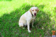 labrador retriever puppy posted by Florida Labs